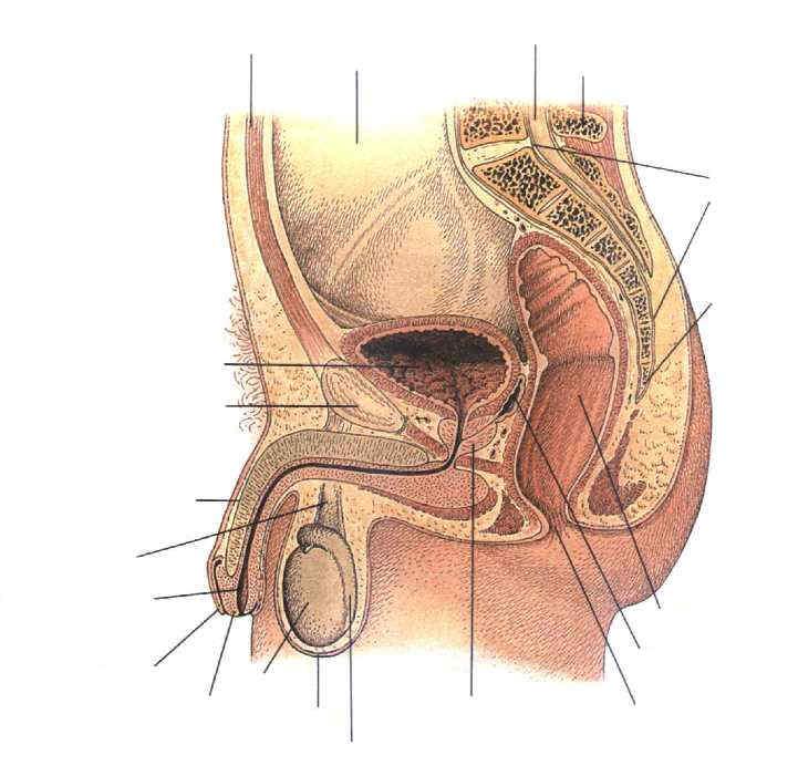 männliche Organe des Unterbauchs-